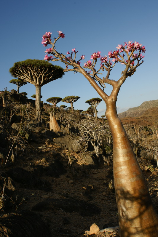 Flowers of the Silk Road AMAZING SOCOTRA