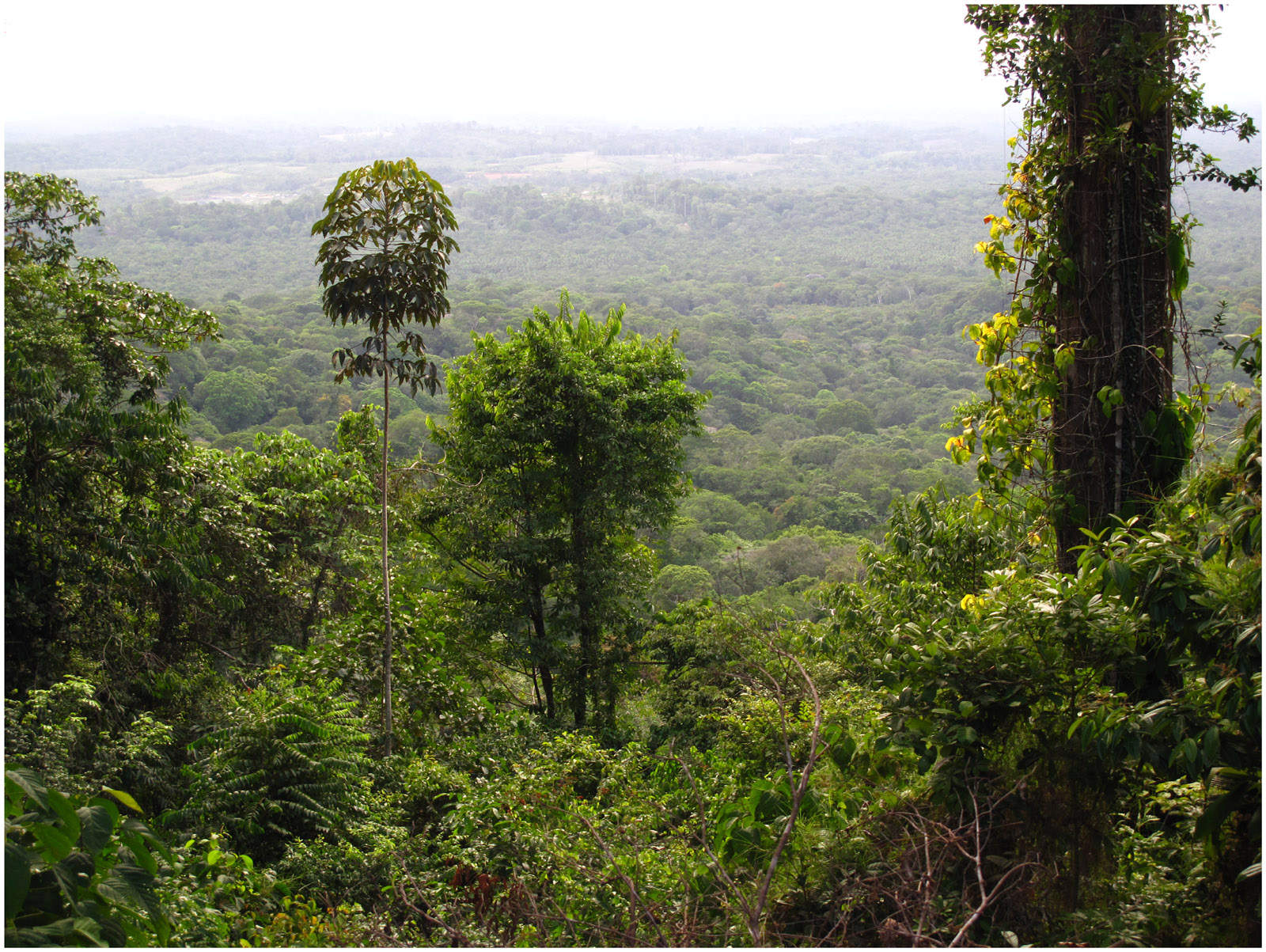 Cergipontin Montagnes De Roura (guyane)  La Canopée
