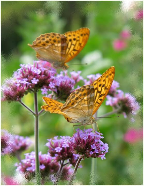 papillons_moyen_nacré