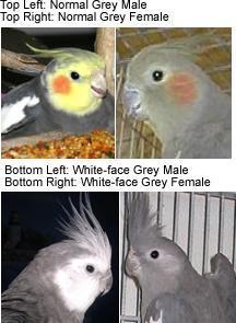 Animals Planet: Cockatiel Sexing