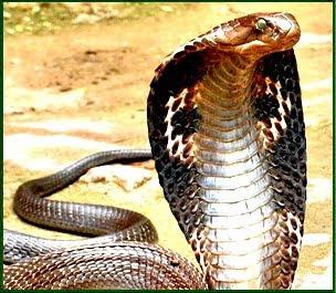 King Cobra Diagram