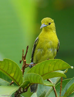 Common Iora at backyard in Raub Malaysia by Dr. Redzlan Abdul Rahman