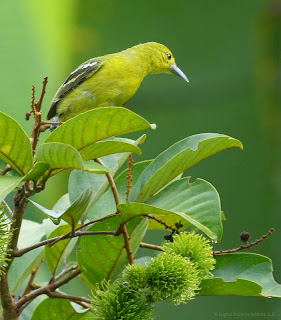 Common Iora at backyard in Raub Malaysia