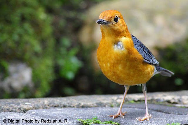 Orange-Headed Thrush - redo photography