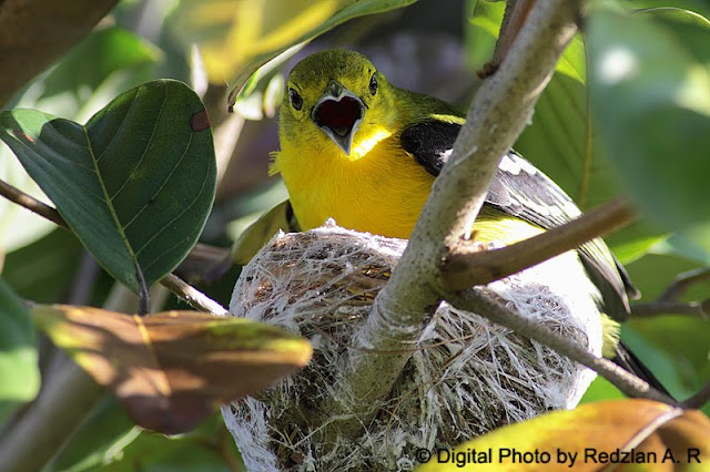 Common Iora Panting