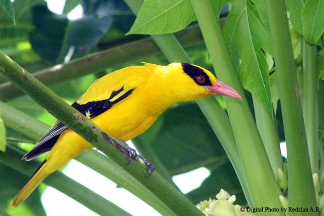 Black-naped Oriole at Papaya tree