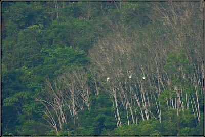 Egret  sp Flock Flying into the Forest