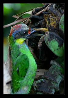 Gold-whiskered  Barbet eating banana