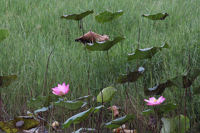 Teratai, Lotus Flowers