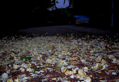 Durian Flowers on the road