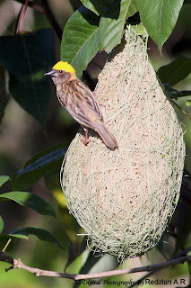 Male Baya Weaver on Nest