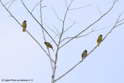 Flock of Black-headed Bulbul