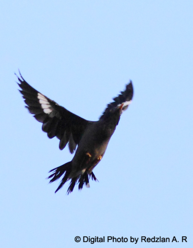 Myna in flight