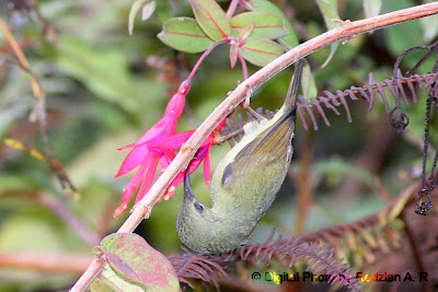 Black-throated Sunbird -female