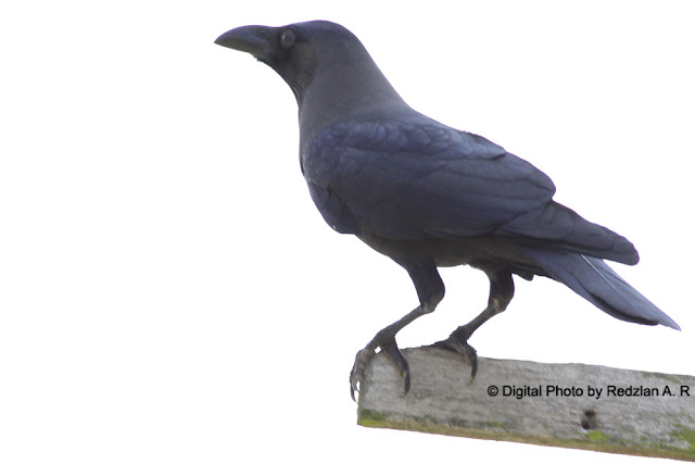 House Crow(Corvus splendens)