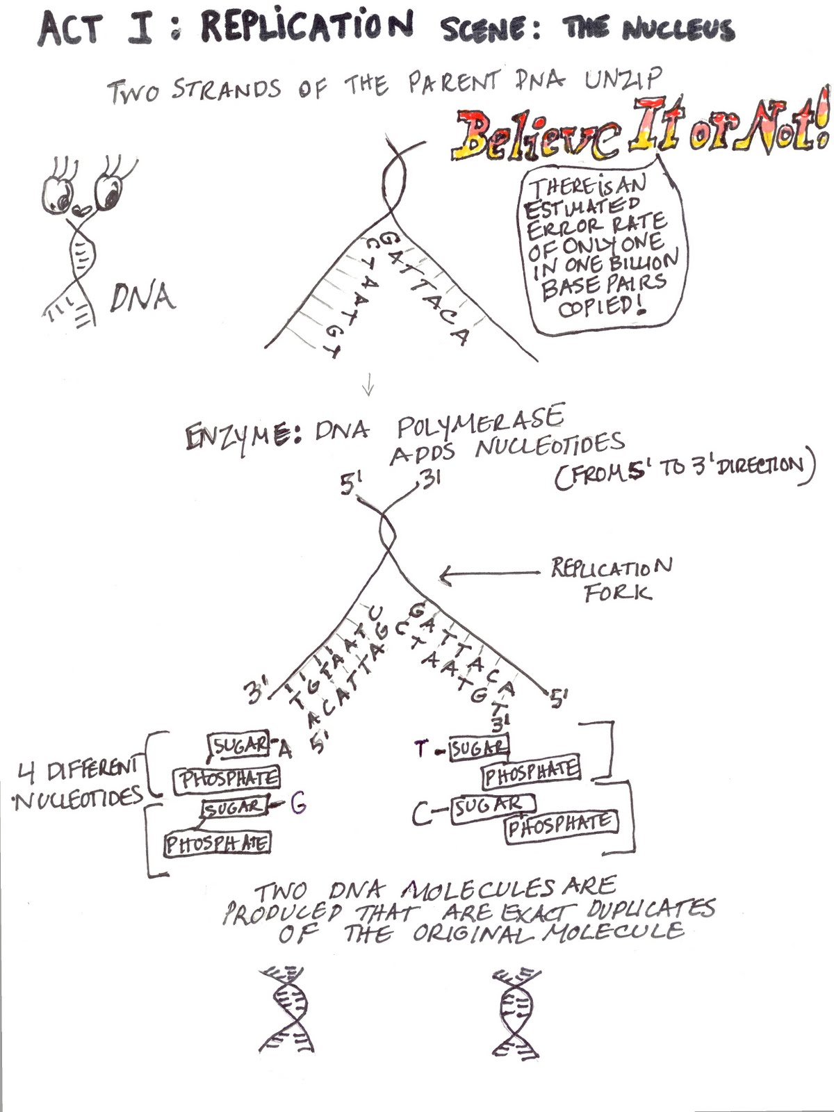 Science Tutor: Protein Synthesis - Graphic Organizer ...