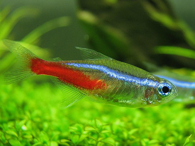 aquarium, tropical fishes and plants: How to breed neon tetra