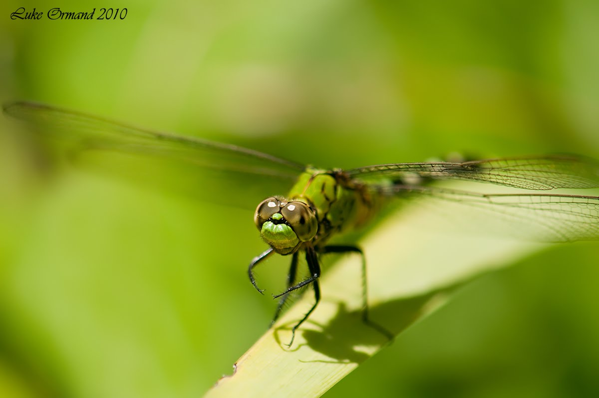 Green dragonfly pictures - photo#33