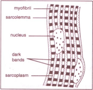 CBSE IXth Class Biology NCERT Science Solutions | Striated muscles figure