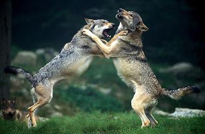 É comum o combate entre indivíduos de mesma espécie pelos mais diversos recursos, como território, alimento ou fêmeas.