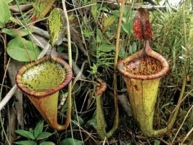 Nepenthes Attenboroughii the largest meat-eating plant