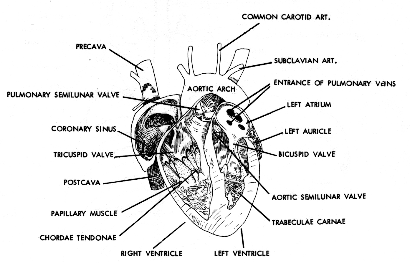 Posterior Heart Diagram Labeled Black And White, Posterior