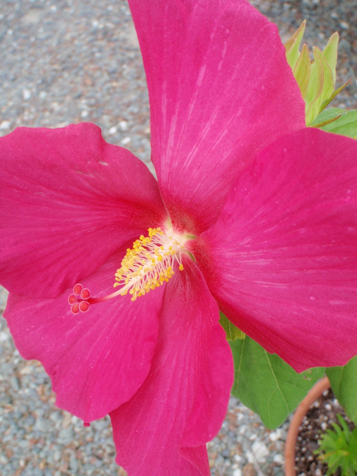 Cabbage Tree Farm Hibiscus Flower And Rain Lots Of It