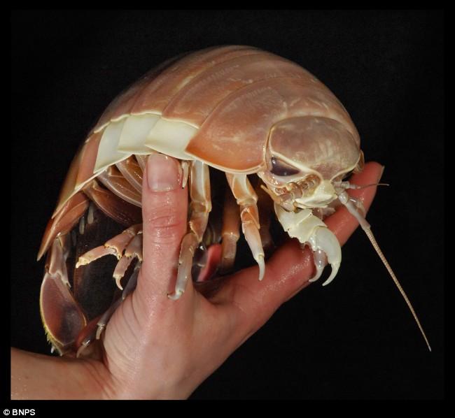 Biggest Horseshoe Crab Ever