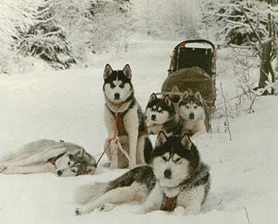 Siberian Husky Husky Breed History
