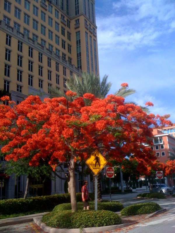 Royal Poincianas In Bloom Everywhere