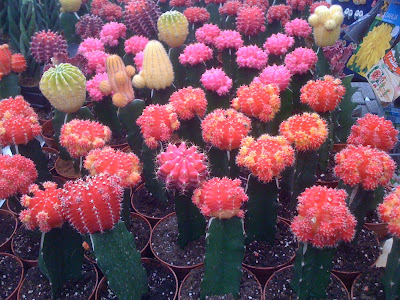 Amsterdam Flower Market, flowers, Amsterdam, flower market, plants, succulents, cacti, garden, gardening, travel