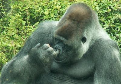 https://i2.wp.com/4.bp.blogspot.com/_NOXa1CXNsxg/SW89x9SDrJI/AAAAAAAAD8U/DNE8mRYjZKA/s400/funny-gorilla.jpg