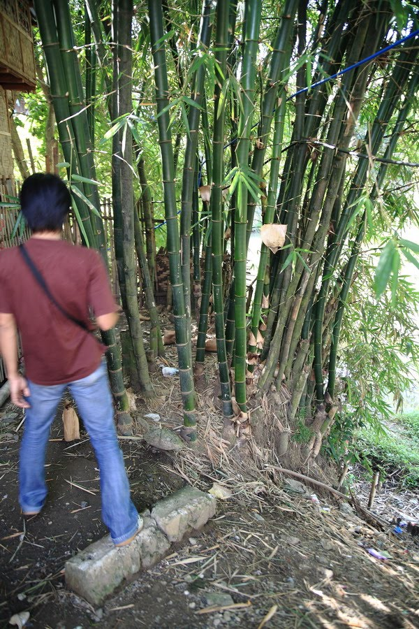 Tulay Na Kawayan Local Bamboo Species