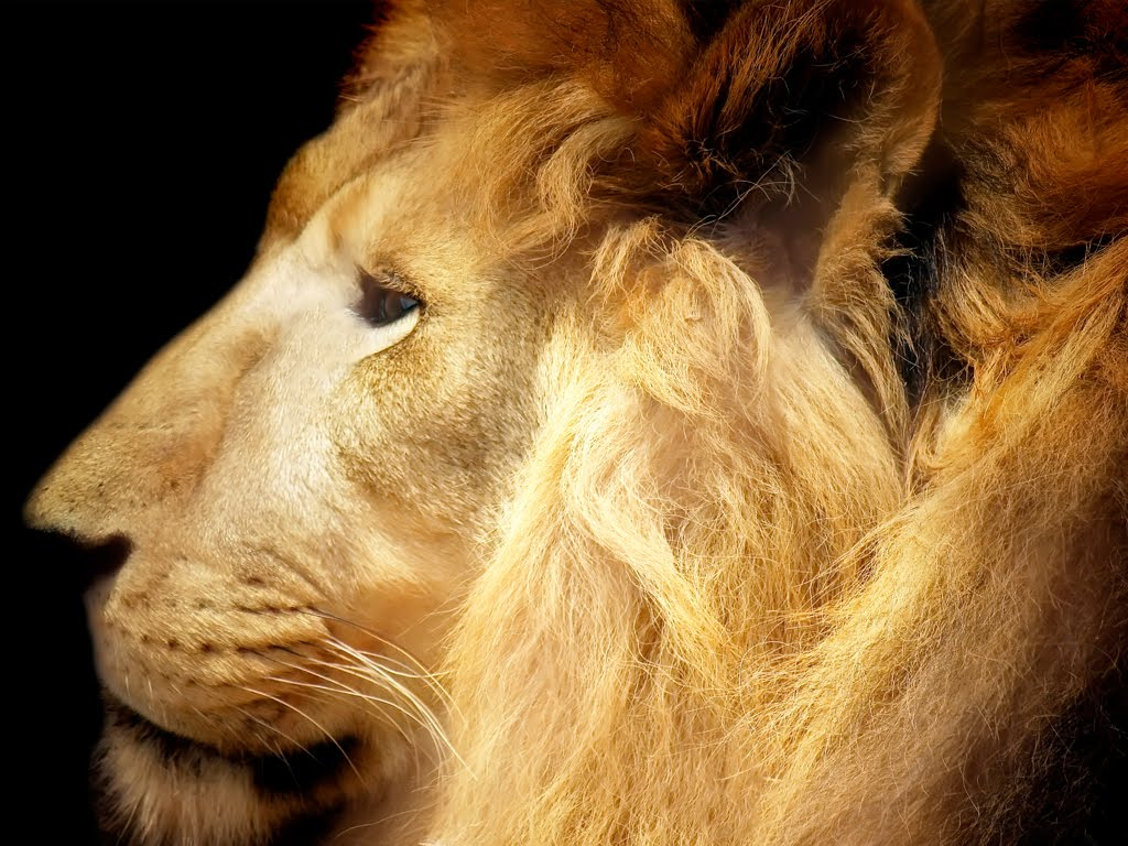 8k Animal Wallpaper Download: Animals Zoo Park: Lions Roaring Pics, Roaring Lion