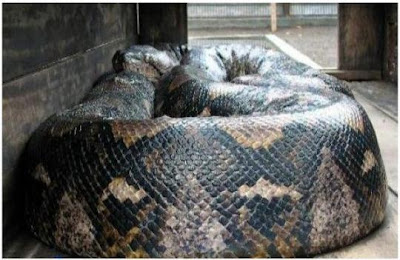 Worlds Largest Snakes Ever Picture