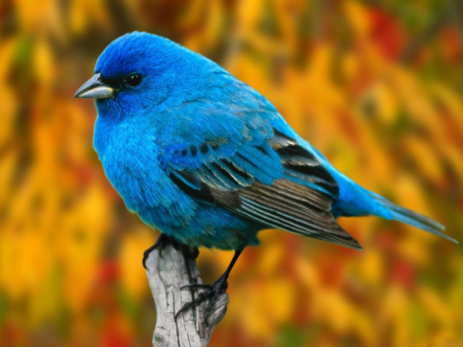 Free Bluebird Wallpaper For Desktop: Animals Zoo Park: Birds Desktop Wallpapers, Bird Beautiful