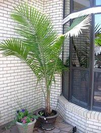 Majesty Palm4 Palm Tree Ravenea Rivularis