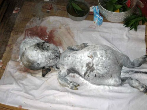 The Vatic Project: Alien or human-like fetus born from a cow