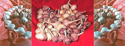 Red & purple garlic
