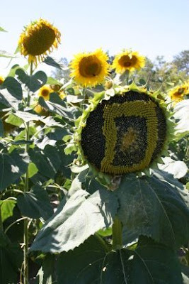 Artistic Sunflowers (8) 5