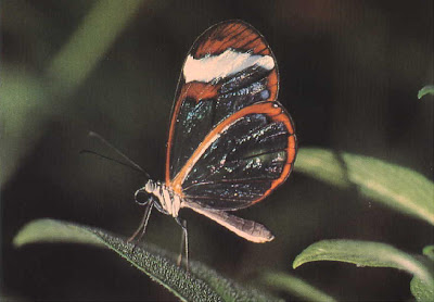 Glasswing+butterfly++2.JPG