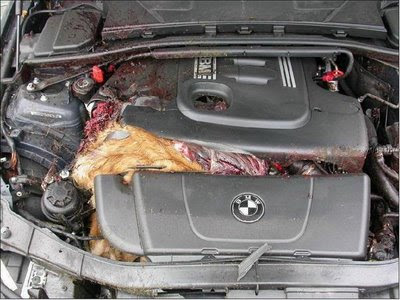 Deer in engine compartment (4) 3