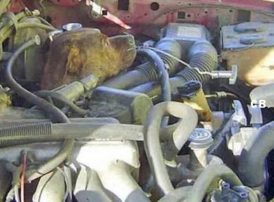 Dog in engine compartment (4) 1