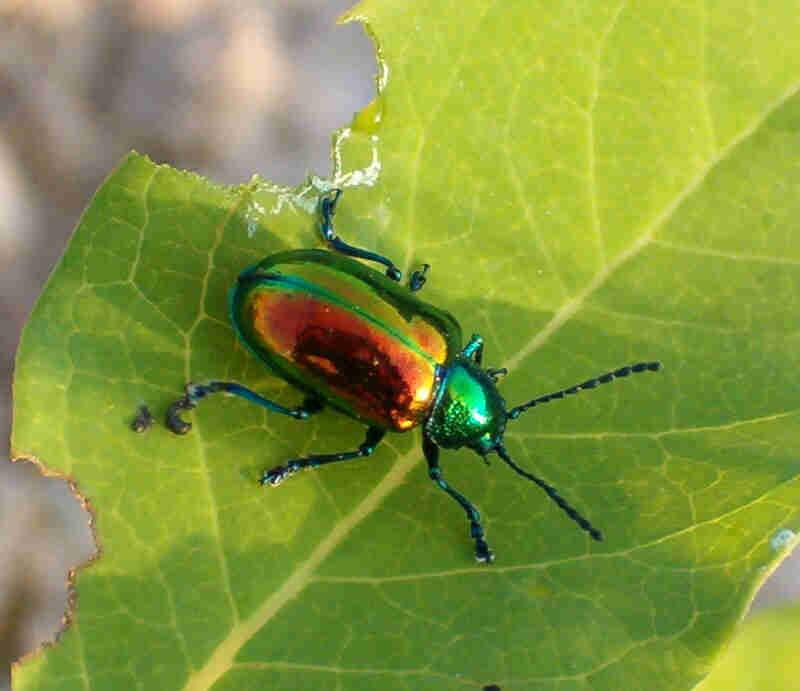 Christmas Beetle.The Christmas Beetle Pest Control And Bug Exterminator Blog