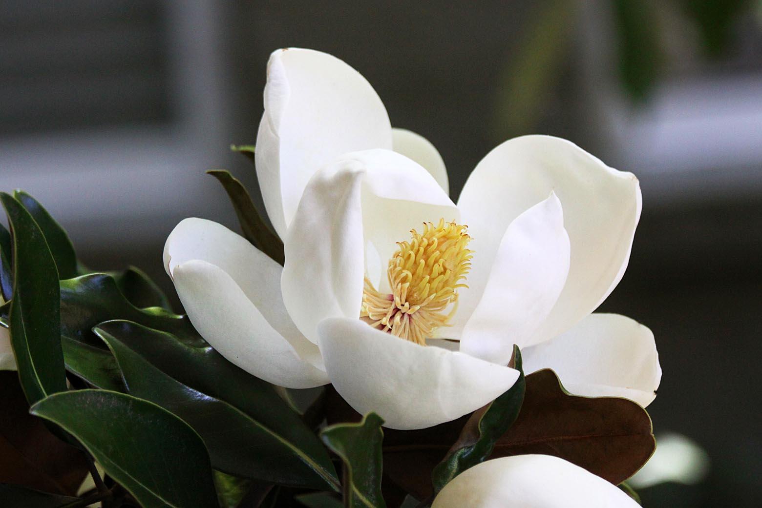 Southern Lagniappe: Sweet Magnolias