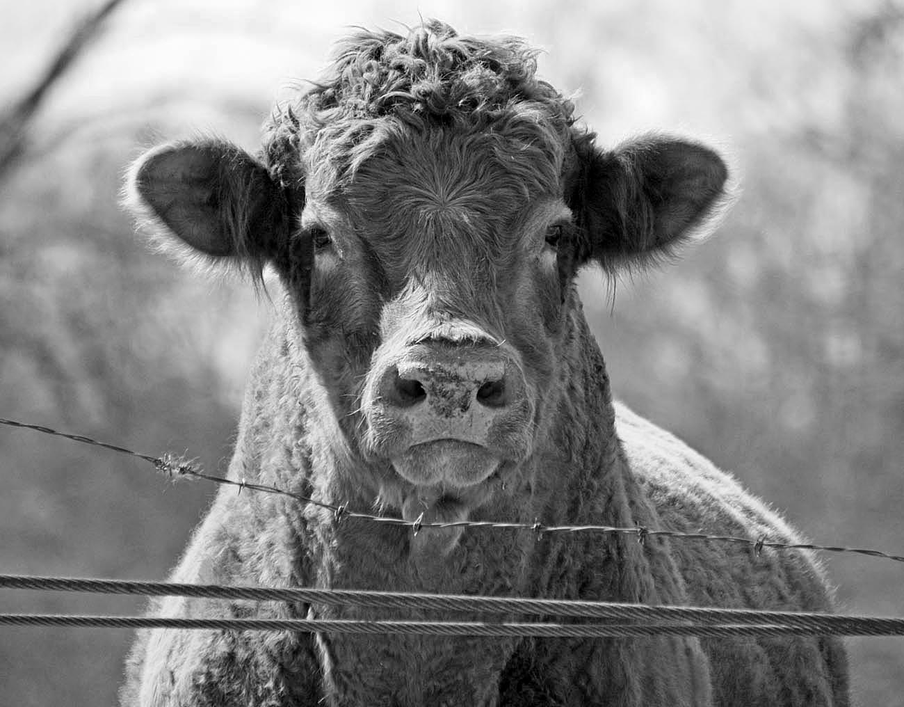 Southern Lagniappe: How Now, Black and White Cow!