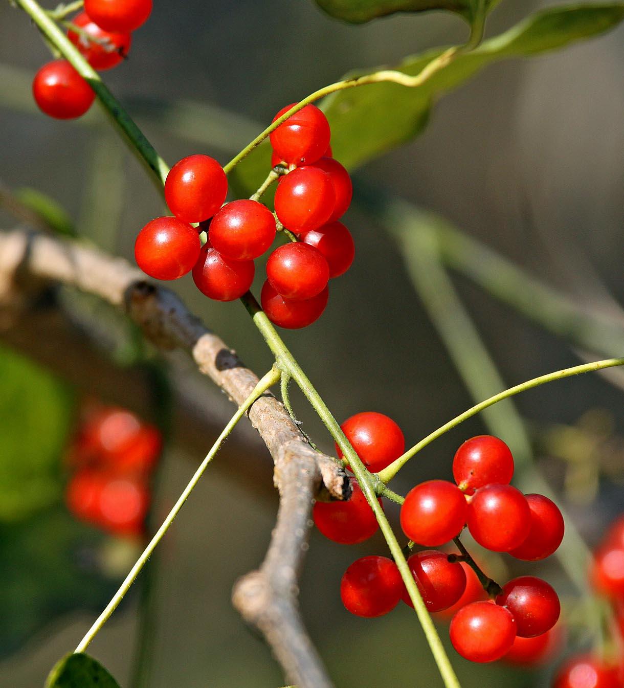 Southern Lagniappe: December Lagniappe: Vines And Berries