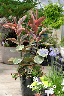 Here Belize Rubber Tree With Its Spectacular Pink Tinged Variegated Foliage Is The Thriller Of This Tall Dark Green Ceramic Container