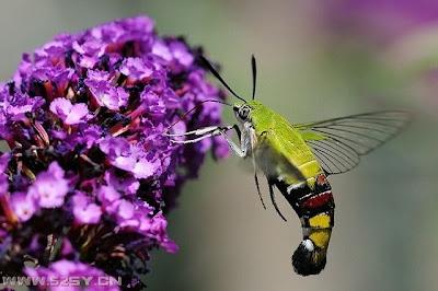 蜂鳥天蝦 會飛的蝦子 長喙天蛾 @ 星星滿天 :: 痞客邦