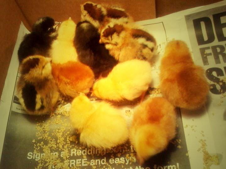 Riddlelove Keeping Chickens Part 2 Little Balls Of Fluff